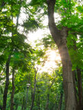 Morning sunlight. Throug the tree in the park Stock Image