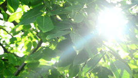 Morning Sunlight through walnut treetop and branches. Green leaves in orchard. Stock Photos