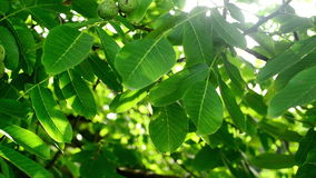 Morning Sunlight through walnut treetop and branches. Green leaves in orchard. Stock Photography