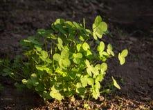 Morning sunlit on trefoil tussock (Trifolium) Royalty Free Stock Photography