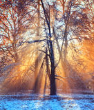 Morning sunrays in winter forest Stock Images