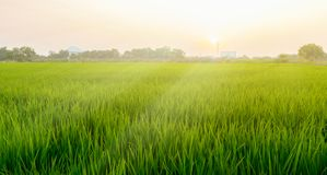 Morning sunrise . Along with the golden mist on the field. royalty free stock photography