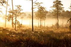 Morning sunrise in dark pine forest Royalty Free Stock Photos