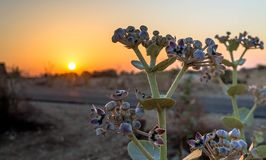 Calotropis flowering plant. Morning sunrise in desert, orange sun stock photo