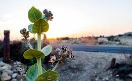 Calotropis flowering plant. Sunrise in desert, orange sun royalty free stock photos
