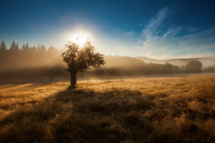 Morning sunrise in fog with single tree and forest in background Stock Photography