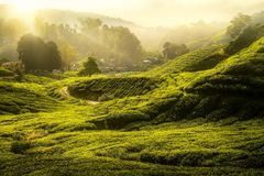 Morning sunrise and The tree and green tea farm Royalty Free Stock Photography