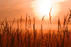 Morning sunrise in wheat field Royalty Free Stock Photo