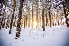 The morning sunrise in the winter forest Royalty Free Stock Photos