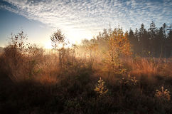 Morning sunshine over autumn swamp with birch trees Royalty Free Stock Photography