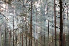 A morning sunshine in a pine forest stock photo