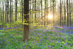 Morning sunshine in spring flowering forest Royalty Free Stock Images