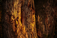 Morning sunshine. Warm rays of the morning sun on the bark of an old tree Royalty Free Stock Photos