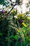 Morning sunshine among wild healing herbs. Soft focus. A variety of beneficial healing herbs in one place. Morning collection of herbs stock image