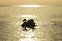 Swans on the golden sea. royalty free stock images