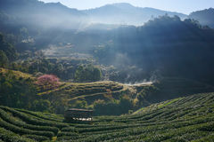 Morning at Tea plantation Doi Angkhang. royalty free stock photography