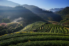 Morning at Tea plantation Doi Angkhang. royalty free stock image
