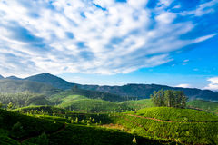 Morning at tea plantation under blue cloudy sky Stock Photo