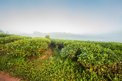 Morning at the tea plantation Stock Photos