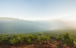 Morning at the tea plantation Royalty Free Stock Photography