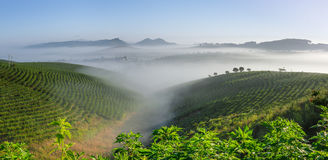 Morning at the tea plantation Royalty Free Stock Photos