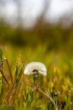 Morning time for a lonely dandelion Stock Photography