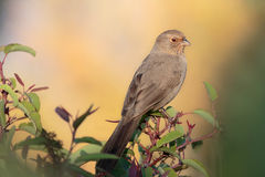 Morning Towhee. California Towhee in the morning light framed by foliage Stock Image