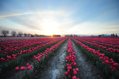 Morning tulip field Stock Photography