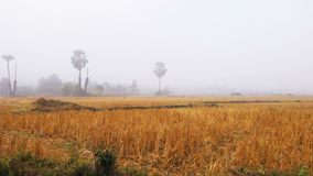 Morning view of after harvested rice field. In the rural of Thailand stock footage