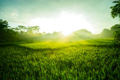 Morning view of paddy field in Indonesia Country Stock Image