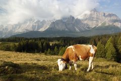 Morning view from Sexten Dolomites with cow Royalty Free Stock Images