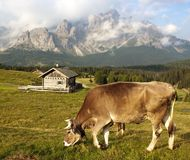 Morning view from Sexten Dolomites with cow Stock Photos
