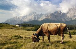 Morning view from Sexten Dolomites with cow Stock Images