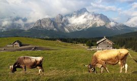 Morning view from Sexten Dolomites with cow Stock Photo