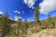 Morning view of some pine trees in Yosemite. National Park, California Stock Photography