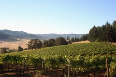 Morning Vineyard. Early morning fog in a vineyard and hills Royalty Free Stock Images