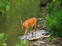 Morning Walk. Lone whitetail wandering the creek at dawn stock photo