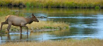 Morning Walk. Young female elk wading into stream in Yellowstone National Park stock image