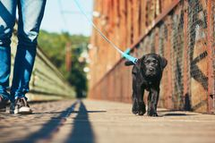 Morning walk with dog. (black labrador retriever). Young man is training his puppy walking on the leash Royalty Free Stock Photos