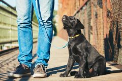 Morning walk with dog. (black labrador retriever). Young man is training his puppy walking on the leash Stock Photos