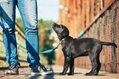 Morning walk with dog. (black labrador retriever). Young man is training his puppy walking on the leash Stock Images
