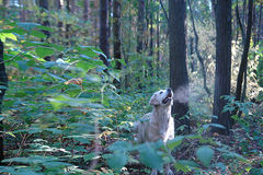 Morning walk of the dog in the woods Royalty Free Stock Photography