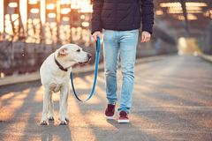 Morning walk with dog at the sunrise. Morning walk with dog. Young man with his labrador retriever on the iron bridge at the sunrise royalty free stock photo