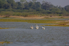 Morning walk three great white pelican Royalty Free Stock Photos