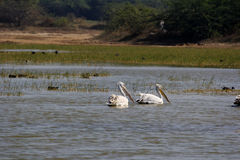 Morning walk two great white pelican Stock Photos