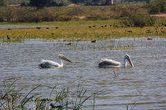 Morning walk two great white pelican Royalty Free Stock Photography