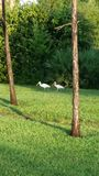Morning walk. Two ibis walking together in the morning royalty free stock photo