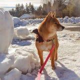 Morning walks. Meeka the shiba Inu on her walks Royalty Free Stock Photos