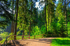 Morning walks. Wide trail with a wooden fence near the lawn in the shade of pine trees of green forest Royalty Free Stock Images