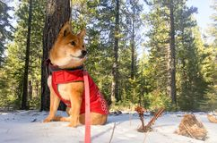 Morning walks in the woods. Meeka the shiba inu on her walks in the Royalty Free Stock Images